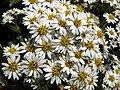 New Zealand Holly (Olearia macrodonta) (9212341853).jpg