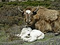 Newborn Yak, near Everest base camp, Nepal.jpg