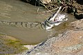 Nile Crocodile (Crocodylus niloticus) trying to swallow a big Tilapia (Oreochromis sp.)... (16646778958).jpg