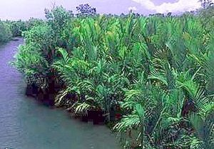 Nipapalmen in einem Mangrovenwald in der Bucht von Sarangani