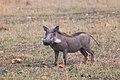 Nkomazi Game Reserve, South Africa (22031590403).jpg