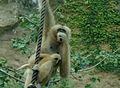 Nomascus leucogenys - San Antonio Zoo.jpg
