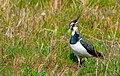 Northern Lapwing chilling in the Sun out in South Holland . (49781141496).jpg