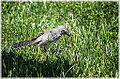 Northern Mockingbird (11888295665).jpg