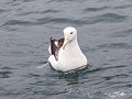 Northern Royal Albatross.jpg