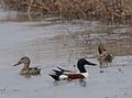 Northern Shovelers (male and two females) (33655666366).jpg