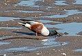 Northern shoveler male in Marine Park (33198).jpg