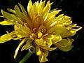 Nothocalais cuspidata (3287846008).jpg