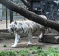 Nyíregyháza Zoo, Panthera tigris tigris, mutatio alba.jpg