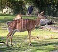 Nyala Tierpark Hellabrunn-10.jpg