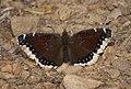 Nymphalis antiopa P1370044a.jpg