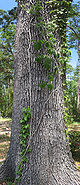 Oak Tree with unknown vine panorama 2.jpg