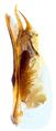 Ochthephilum fracticorne (Paykull, 1800) Syn.- Cryptobium fracticorne (Paykull, 1800) Genital (24068198788).png