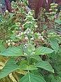 Ocimum basilicum (Lamiaceae) 03.jpg