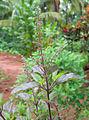 Ocimum tenuiflorum flowers.jpg