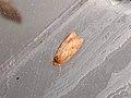 Oecophorinae sp. (25062364657).jpg