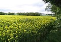 Oil seed rape field - geograph.org.uk - 428604.jpg