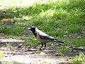 Oiseaux d'Egypte - panoramio (6).jpg