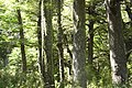 Old-growth Southern Beech Forest (3110124385).jpg
