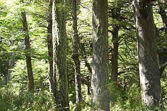 Bosque Andino Patagónico - Old-growth southern beech forest