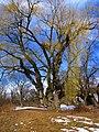 Old lumpy tree.jpg
