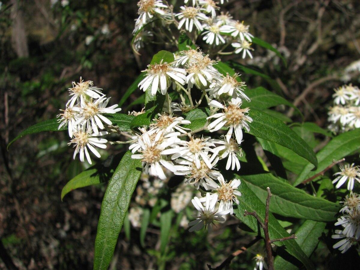South University Online >> Olearia lirata - Wikipedia