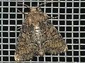 Oligia latruncula - Tawny marbled minor - Злаковая совка шашечная (40235430595).jpg