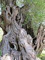 Olivenbaum in Gardiki 02.jpg