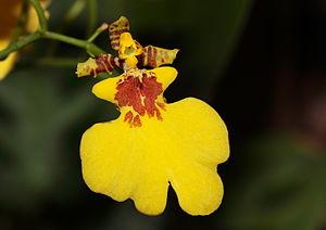 Oncidium varicosum Orchid