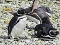 One extroverted penguin Magellenic Penguin Falkland Islands.jpg