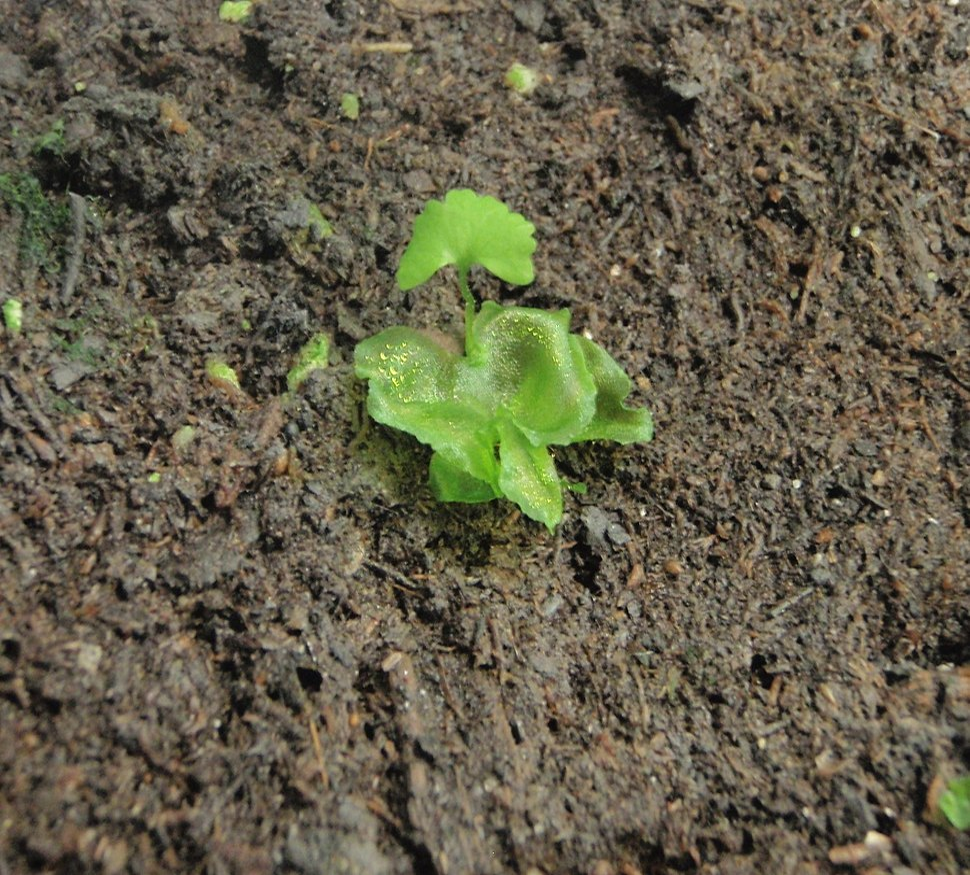 Onoclea sensibilis 3 crop