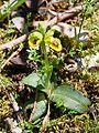 Ophrys prhyganae Monte Pellegrino 0029.JPG