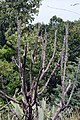 Opuntia imbricata 14zz.jpg