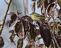 Orange-crowned Warbler (45617989962).jpg
