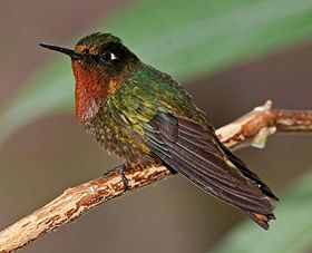 Orange-throated Sunangel.jpg