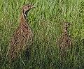 Orange River francolin, Scleroptila levaillantoides, (Scleroptila gutturalis), at Devon Grassland Birding Route, South Africa. (32194124327).jpg
