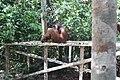 Orangután Indonesia.jpg