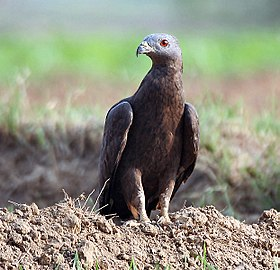Oriental Honey-buzzard (Male) I IMG 9740.jpg