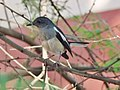 Oriental Magpie Robin in Pune City.jpg