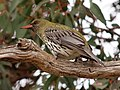 Oriolus sagittatus -Canberra, Australia-8a.jpg