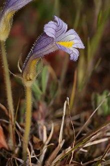 Orobanche uniflora 3303f.JPG