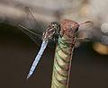Orthetrum coerulescens. A Arnoia, Galicia (Spain) 3.jpg