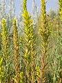 Orthocarpus luteus (5165391277).jpg