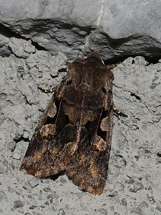 Hebrew character - Image: Orthosia gothica (1)