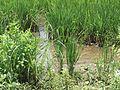 Oryza sativa - Kerala 1.jpg
