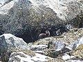 Otter in Loch Spelve - geograph.org.uk - 634211.jpg