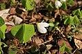 Oxalis-acetosella-flower.jpg