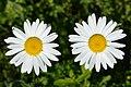 Oxeye Daisy (Leucanthemum vulgare) - Guelph, Ontario 2020-06-07 (02).jpg