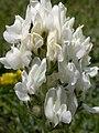 Oxytropis sericea (3435117520).jpg