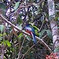 Pássaro do Cerrado - panoramio.jpg